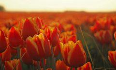 Tulpen Symfonieorkest Bloembollenstreek